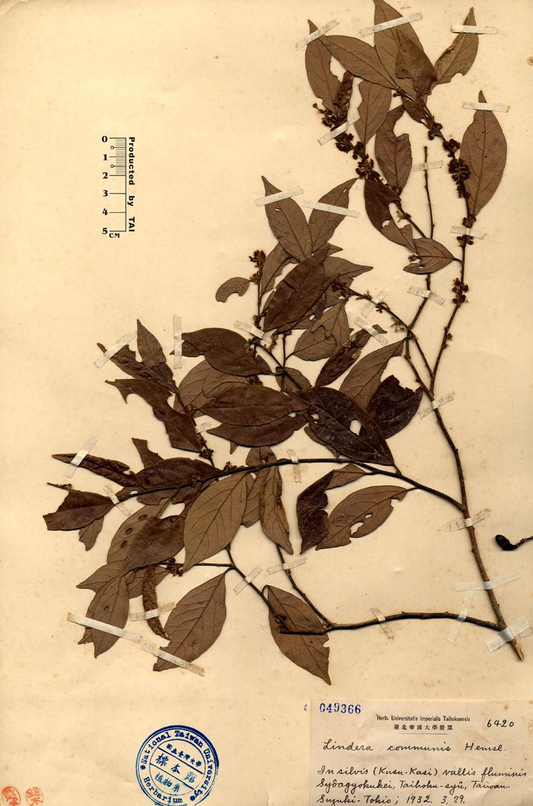 香叶树标本 馆号049366