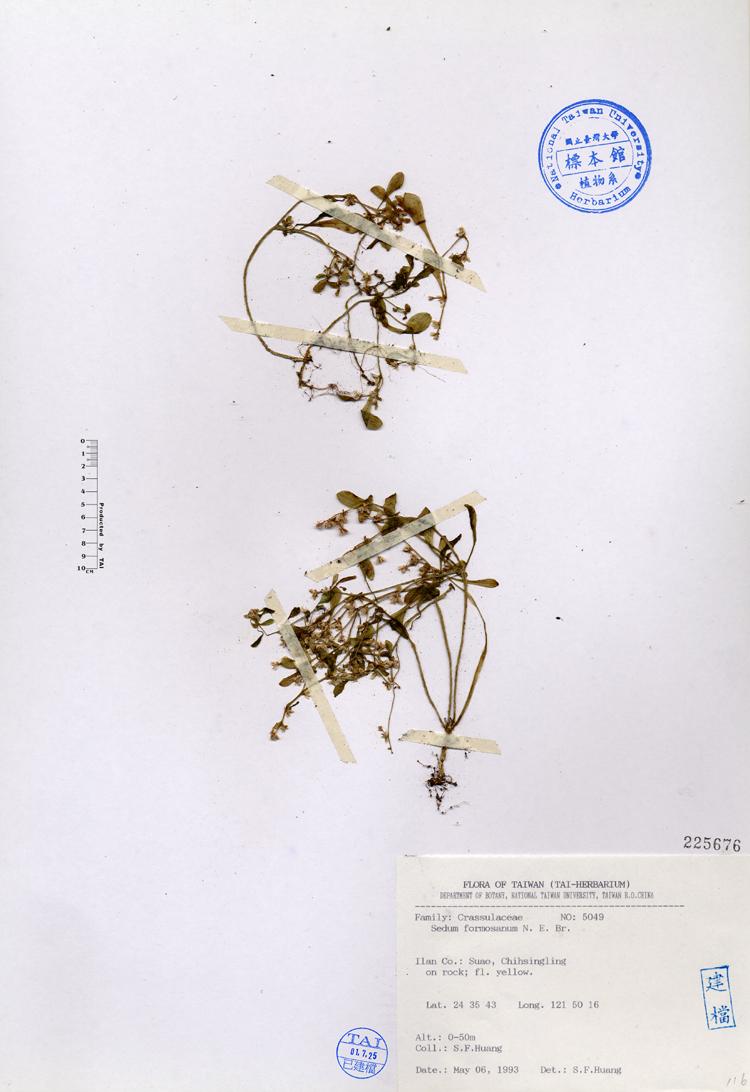 台湾佛甲草标本 馆号225676