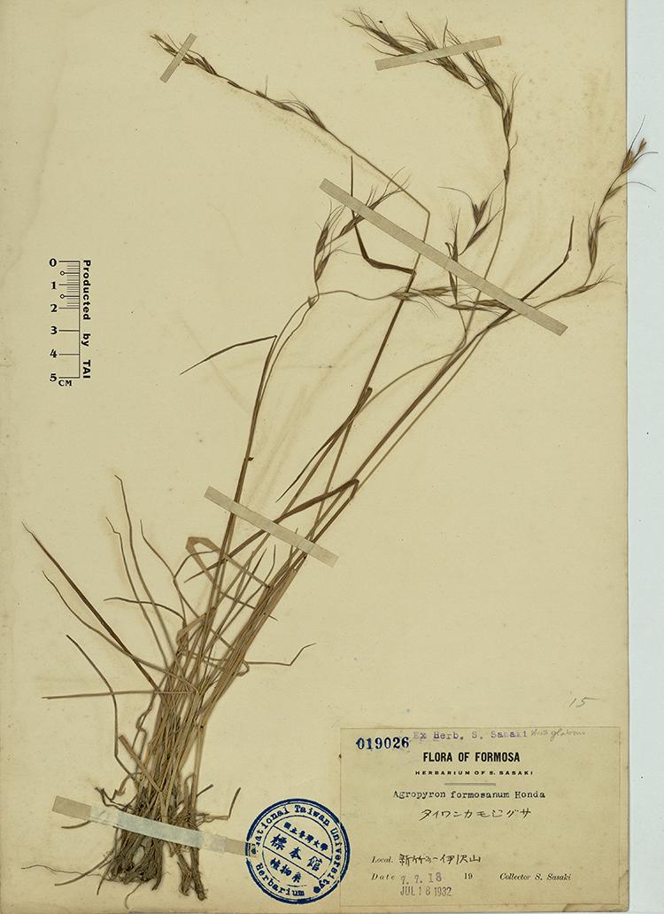 台湾鹅观草标本 馆号019026