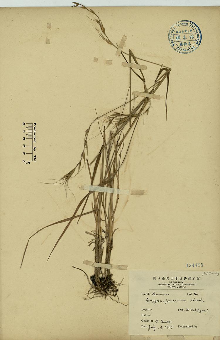 台湾鹅观草标本 馆号134468