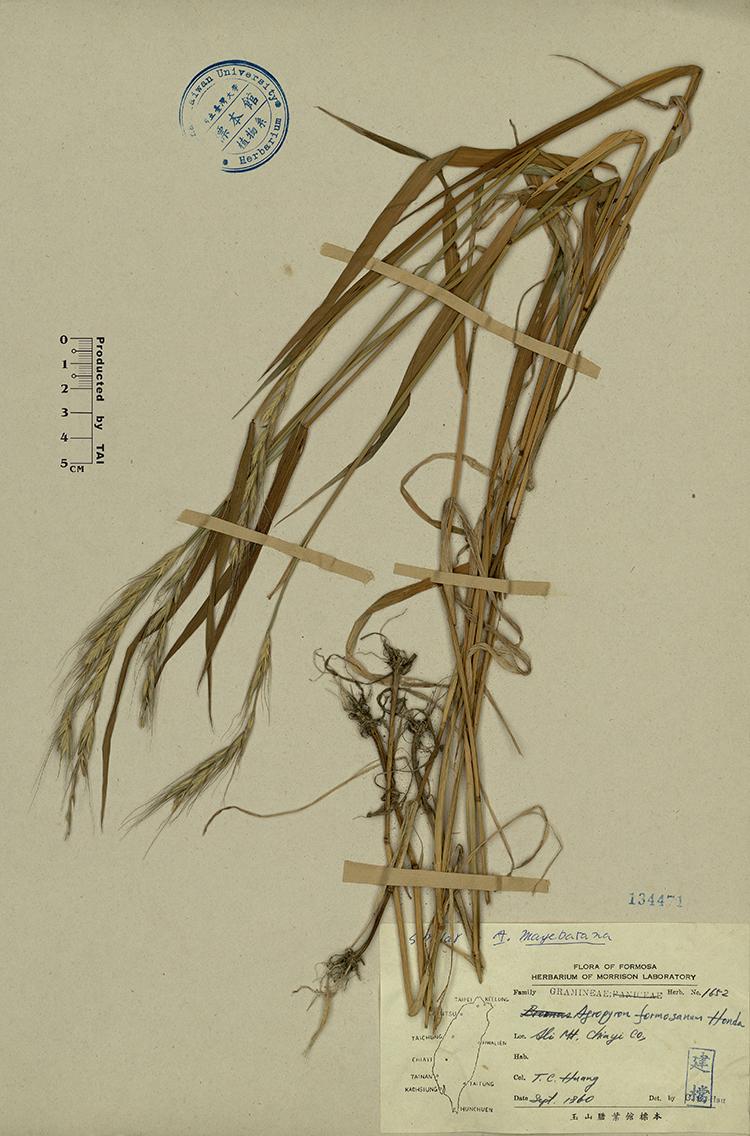 台湾鹅观草标本 馆号134471