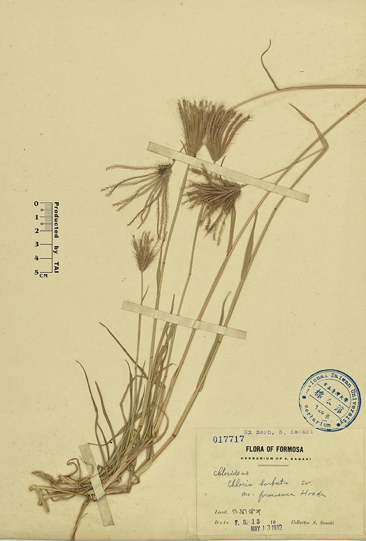 台湾虎尾草标本 馆号017717