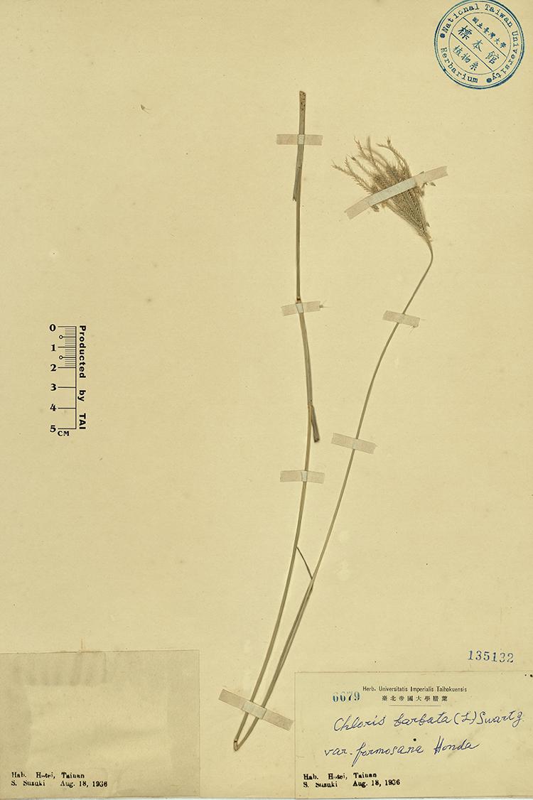 台湾虎尾草标本 馆号135132
