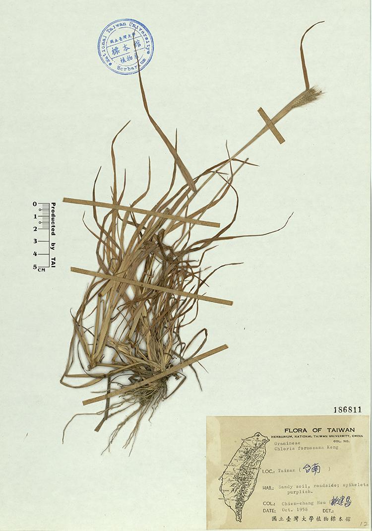 台湾虎尾草标本 馆号186811