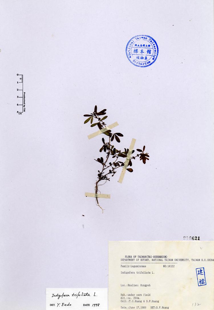 三叶木蓝标本 馆号216621