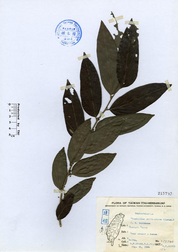 草馒头b_rob.菲律宾馒头果glochidion philippicum
