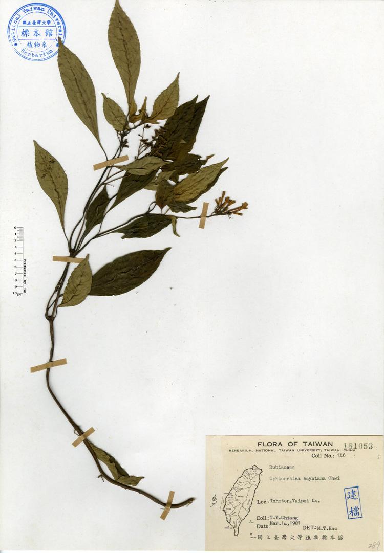 蛇根草标本 馆号181053