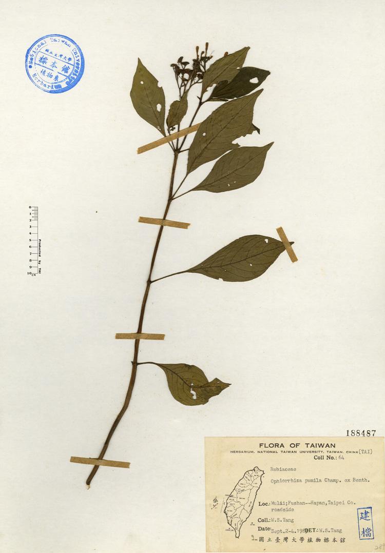 蛇根草标本 馆号188487