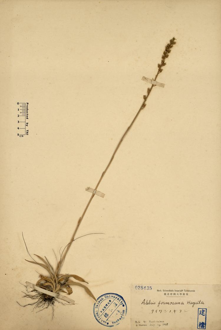 台湾粉条儿菜标本 馆号028435