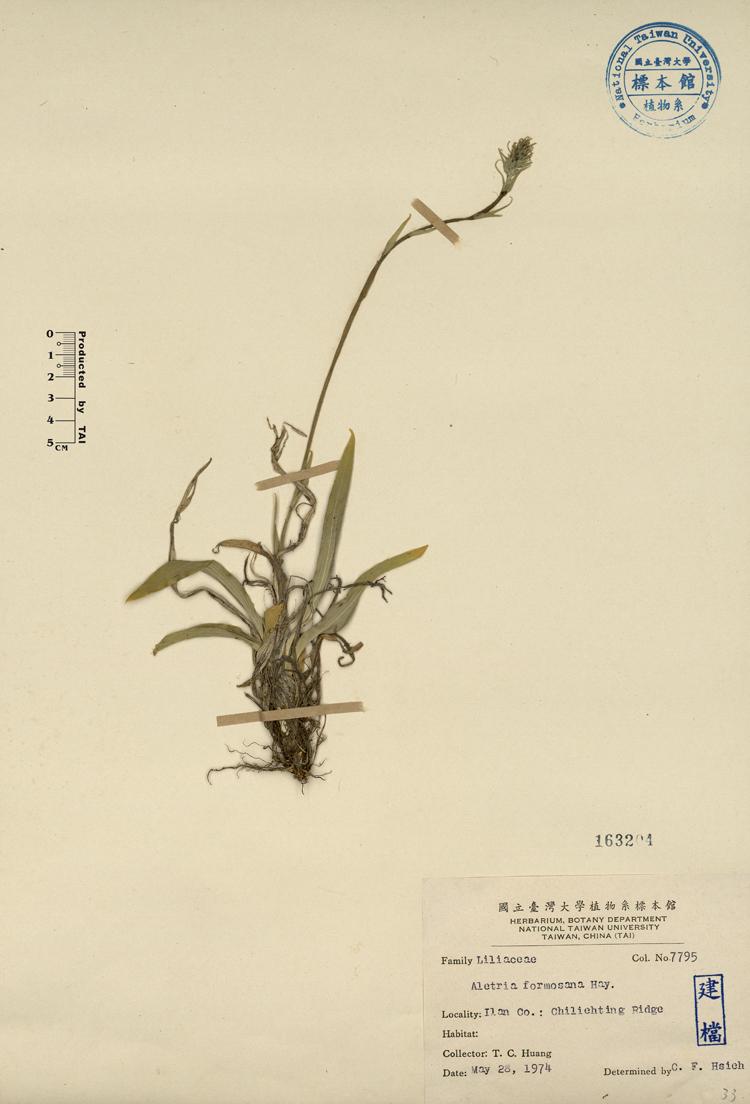 台湾粉条儿菜标本 馆号163204