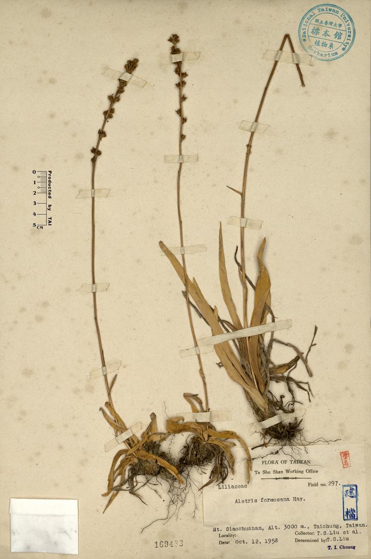台湾粉条儿菜标本 馆号169433