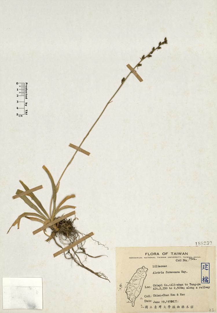 台湾粉条儿菜标本 馆号188230