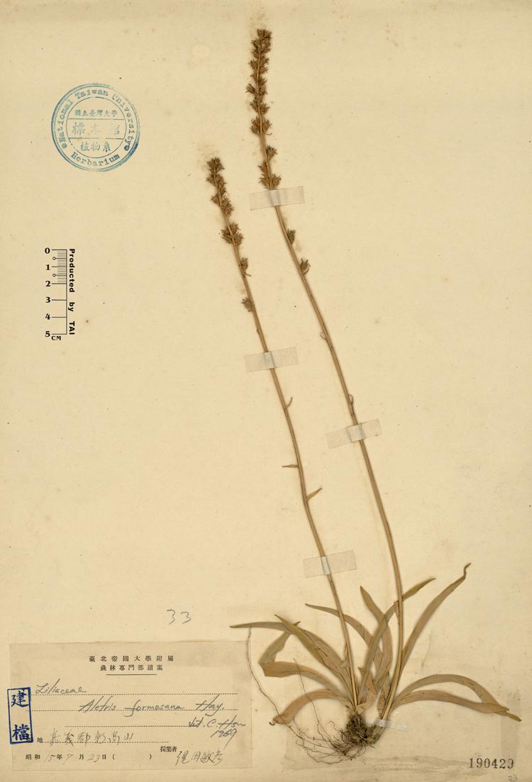 台湾粉条儿菜标本 馆号190429