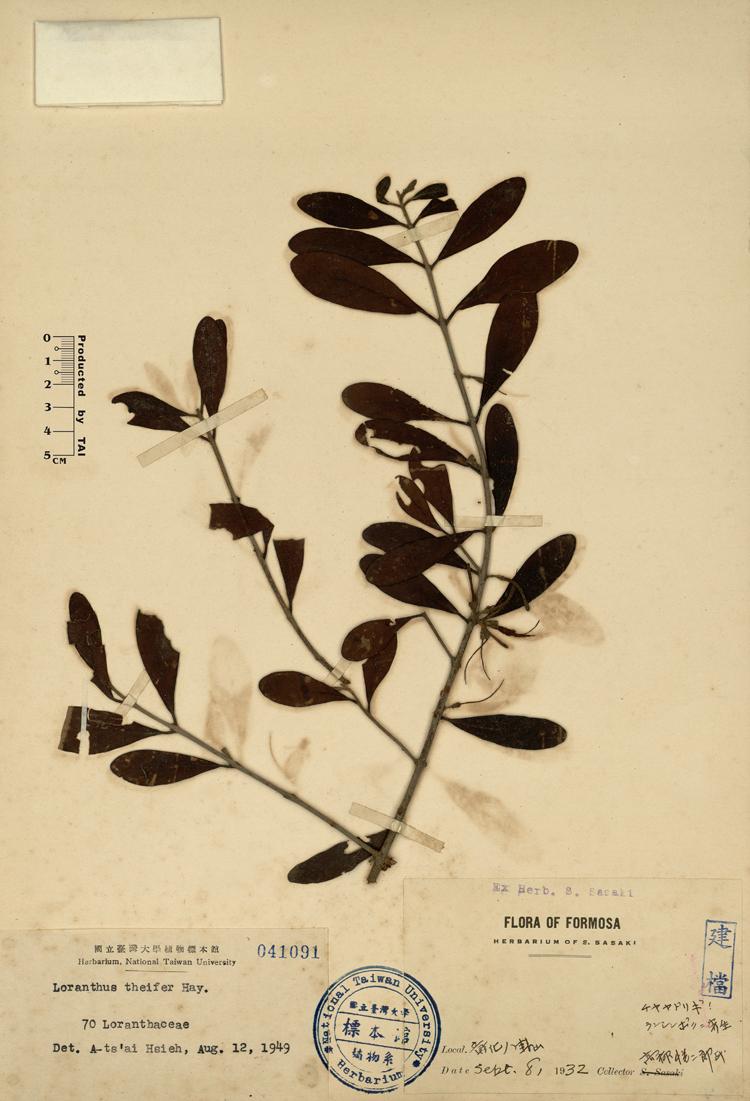 姜䲹a�_s. kiu埔姜桑寄生taxillus theifer