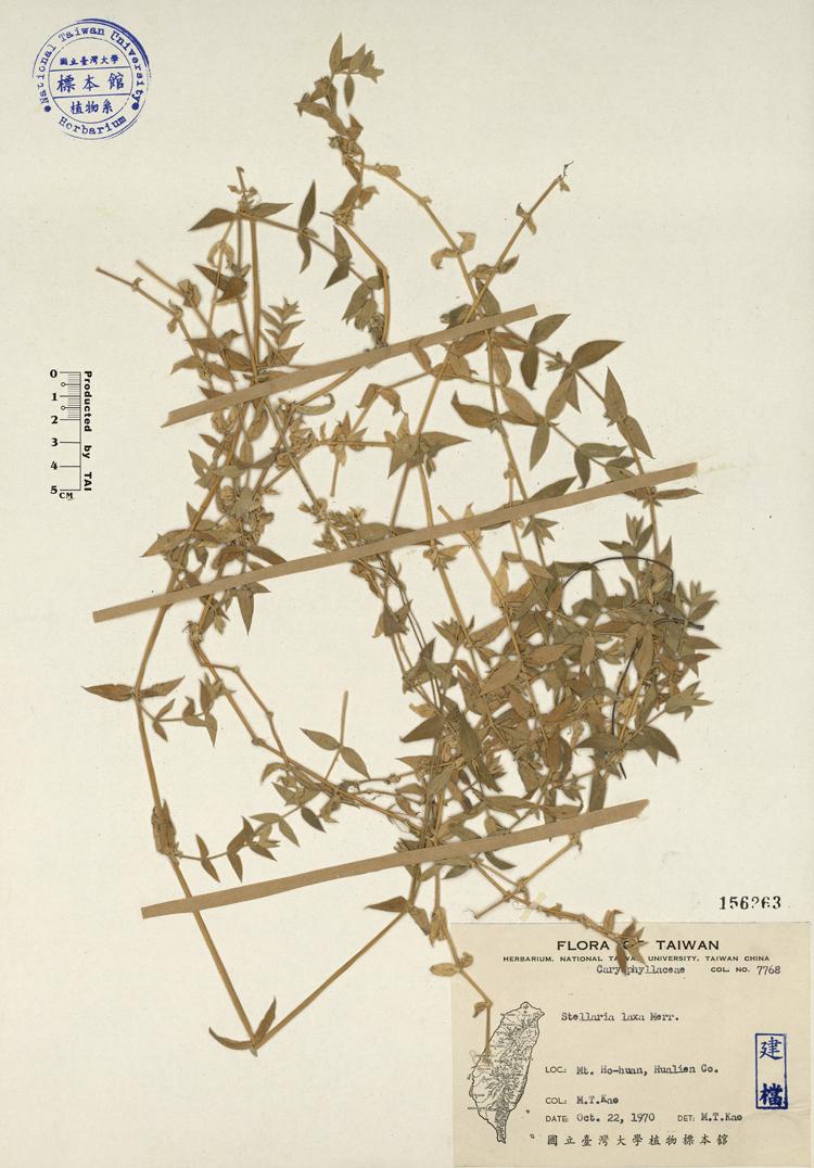 疏花繁缕标本 馆号156263