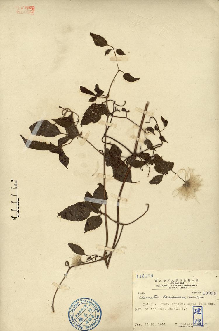 em>clematis lasiandra /em> maxim.小木通clematis lasiandra