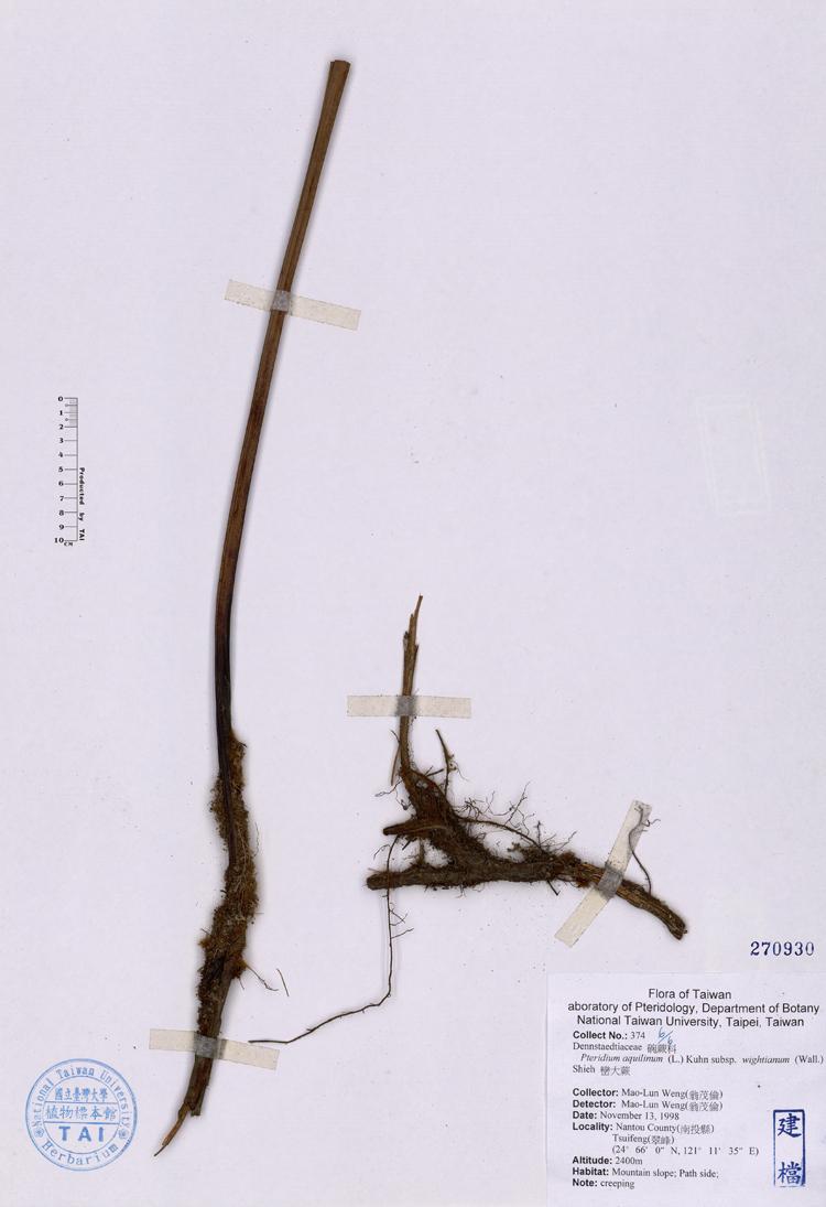 干无��il�l#��m9ia�i�9i�_subsp. wightianum (wall.