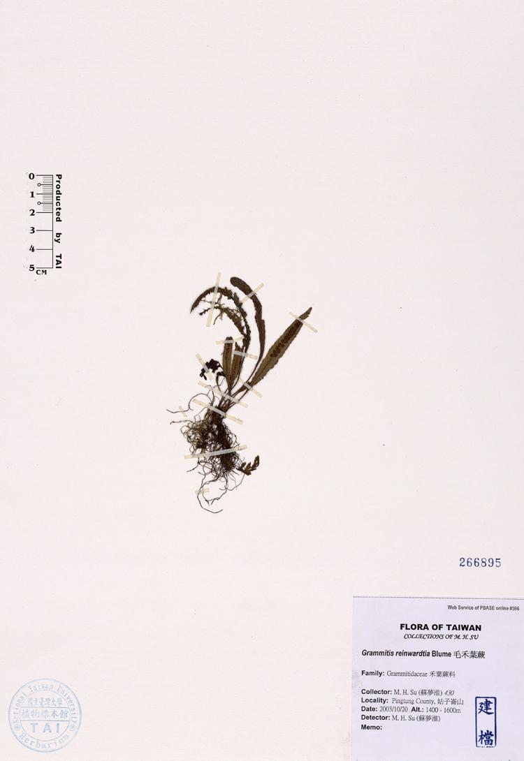 毛禾叶蕨标本 馆号266895