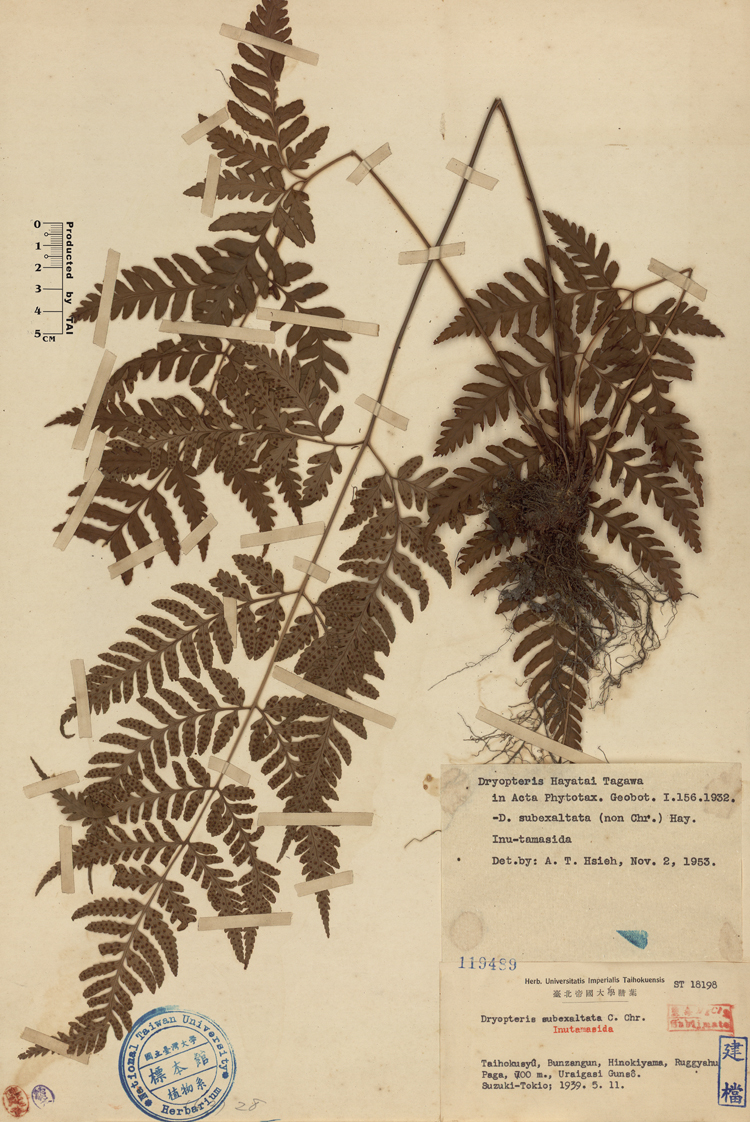 长叶鳞毛蕨标本 馆号119489
