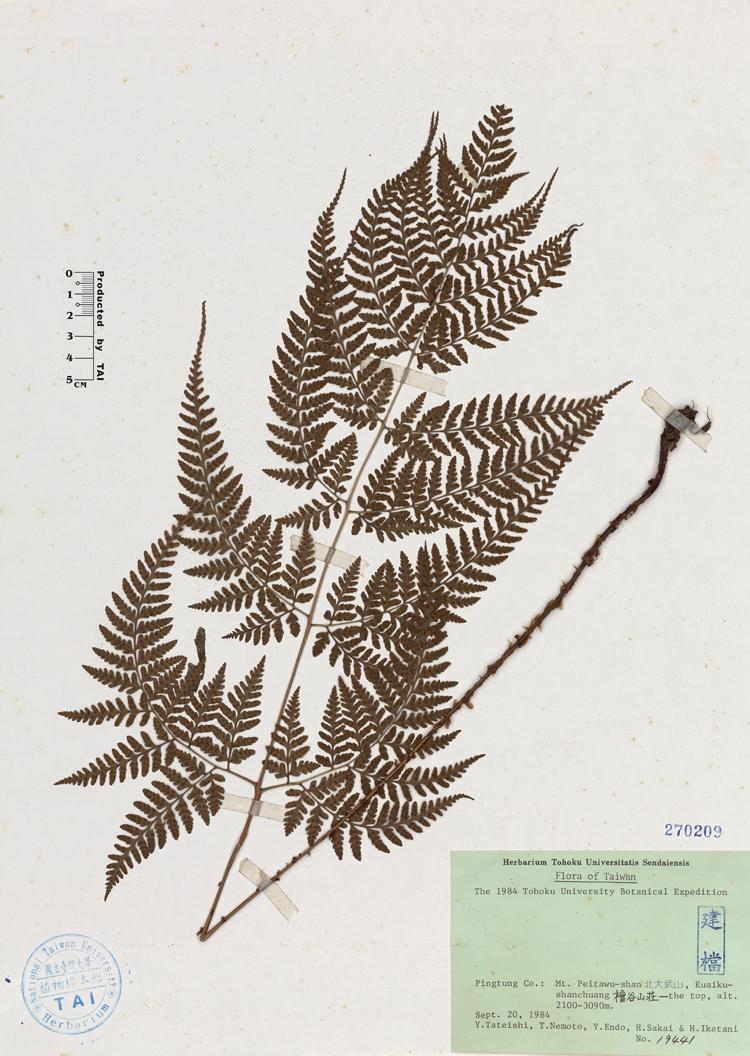 长叶鳞毛蕨标本 馆号270209