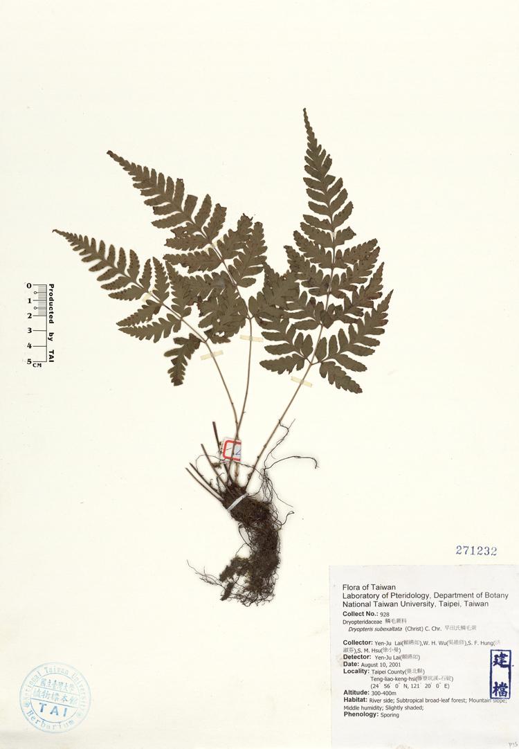 长叶鳞毛蕨标本 馆号271232