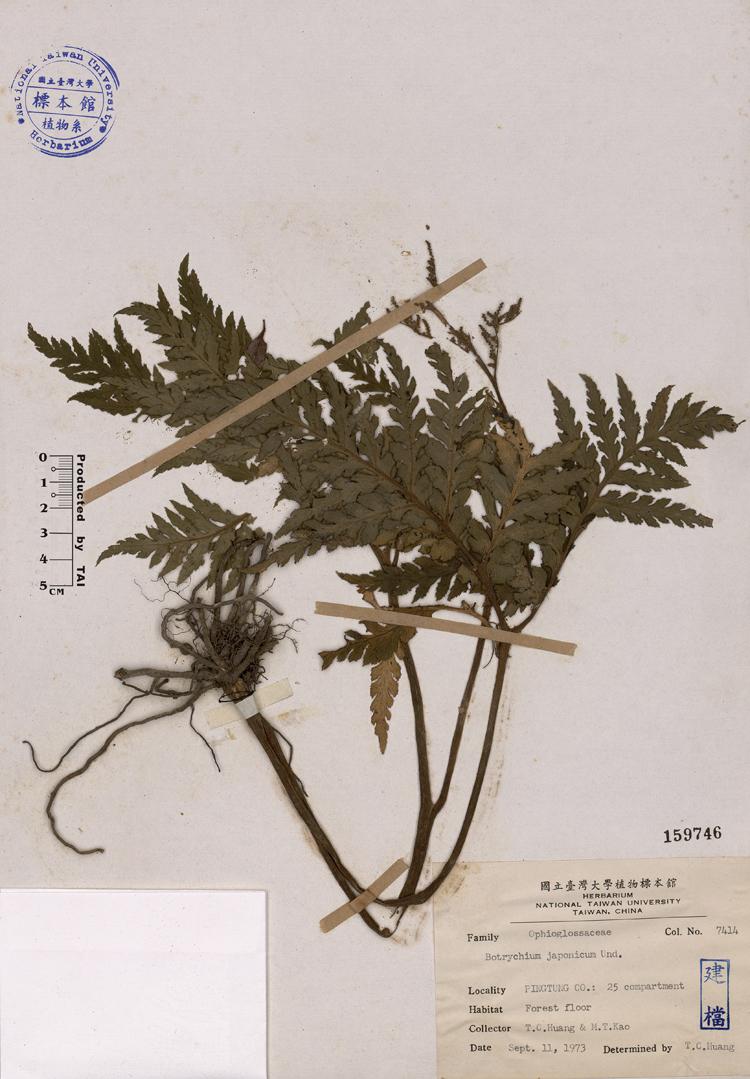蕨叶横切详图手绘图