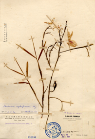 <em>Dendrobium&nbsp;falconeri</em>&nbsp;Hook.紅鸝石斛