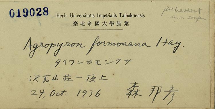 台湾鹅观草标本 馆号019028