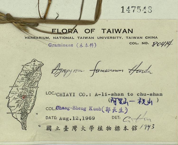 台湾鹅观草标本 馆号147548