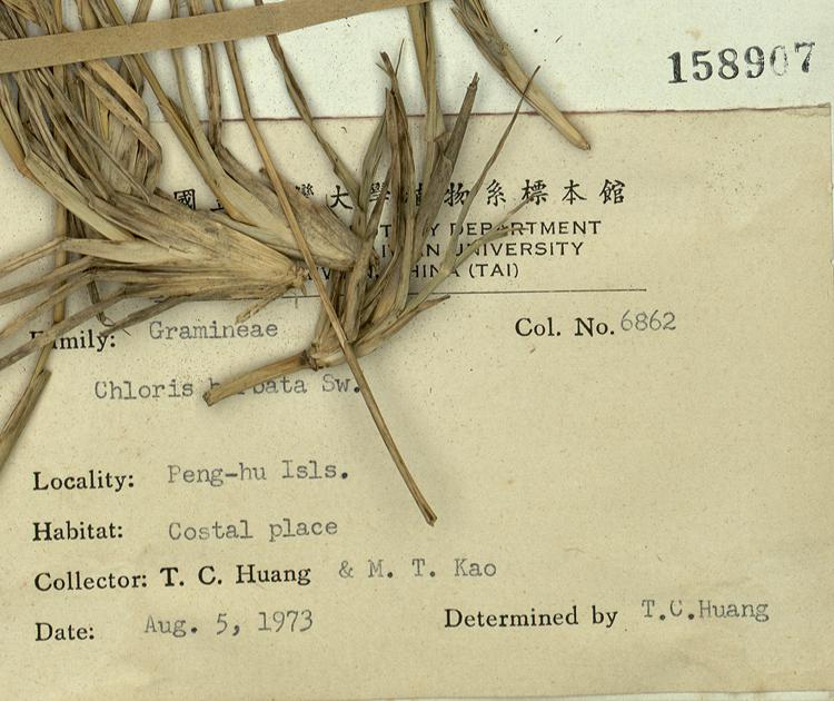 台湾虎尾草标本 馆号158907