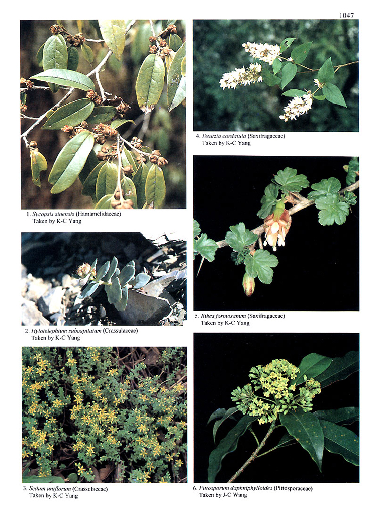 台灣植物誌第二版  Flora of Taiwan, 2nd edition  3: 1047